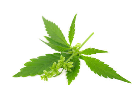 Cannabis plant isolated on white background. Hemp leaf close up. Marijuana green leaf.