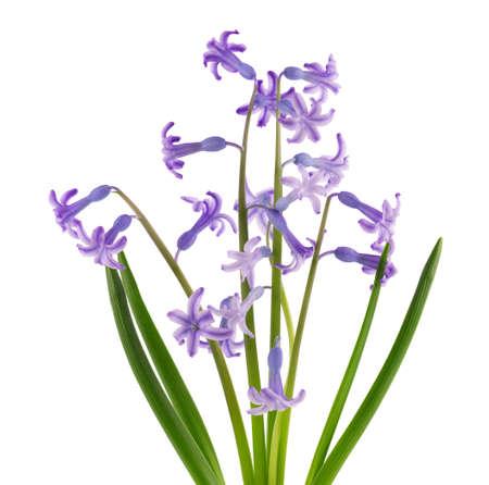Wild hyacinth flowers isolated on white background. Hyacinthus orientalis. Beautiful spring flowers. 版權商用圖片