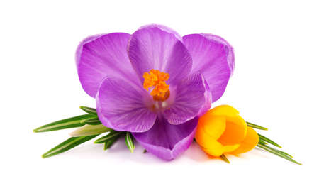 Crocus flowers bouquet, isolated on white background. Beautiful spring flowers.