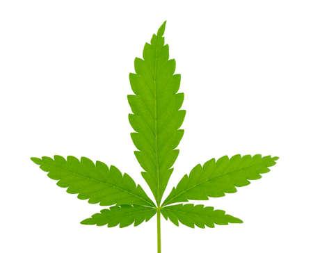 Cannabis leaf isolated on white background. Hemp leaf close up. Marijuana green leaf.