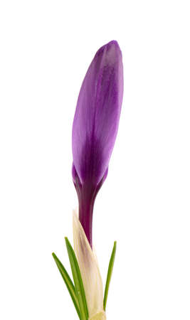 Crocus flower isolated on white background. Close up of saffron flower.