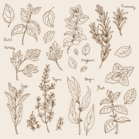 Herbs. Spices. Italian herb drawn black lines on a white background. Vector illustration. Basil, Parsley, Rosemary, Sage, Bay, Thyme, Oregano, Mint