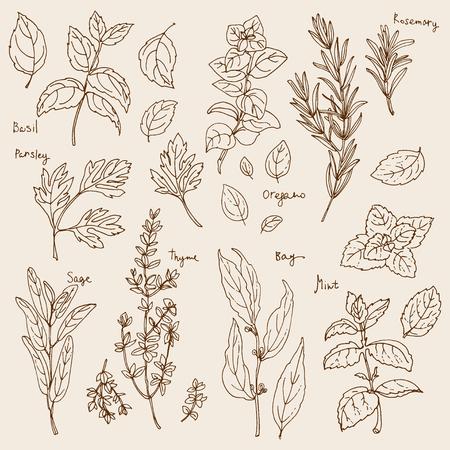 Hierbas. Especias. hierba italiano dibuja líneas negras sobre un fondo blanco. Ilustración del vector. Albahaca, perejil, romero, salvia, laurel, tomillo, orégano, menta