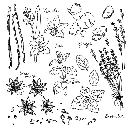 vanilla: Herbs. Spices. Italian herb drawn black lines on a white background.