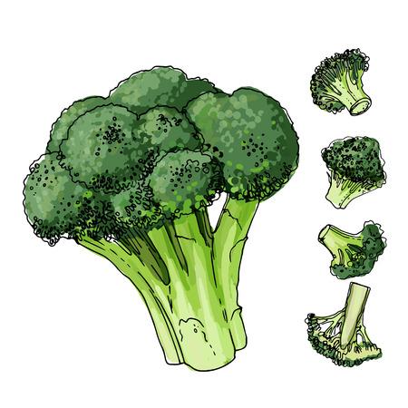 Broccolikool geschilderd met een lijn op een witte achtergrond. Een schets van eten. Vector tekening van kruiden