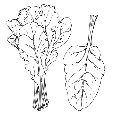 Swiss Chard. The greens drawn by a line on a white background. A sketch of food. Vector drawing of spices