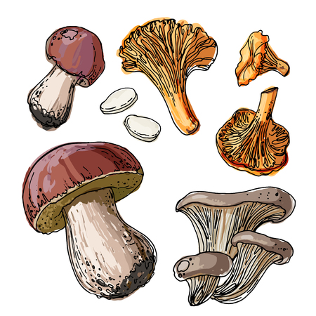 Set of edible mushrooms. A sketch of food drawn by a black line. Colorful drawing of food. Autumn harvest wild mushrooms. Boletus edulis, chanterelles