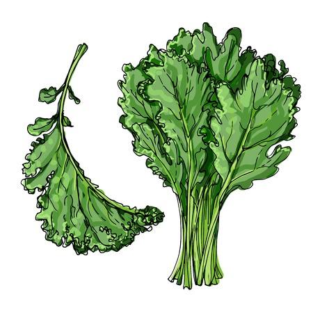 Grünkohl. Die Grüns gezeichnet durch eine Linie auf einem weißen Hintergrund. Eine Skizze des Essens. Vektorzeichnung von Gewürzen