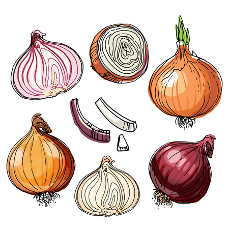 Onions painted with a line on a white background. Colorful sketch of food. Spice