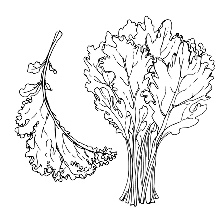 Kale. The greens drawn by a line on a white background. A sketch of food. Vector drawing of spices