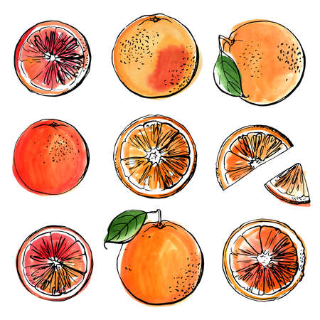 Oranges red. Black line drawn on a white background. Color vector drawing of fruits. Citrus Vector Illustratie