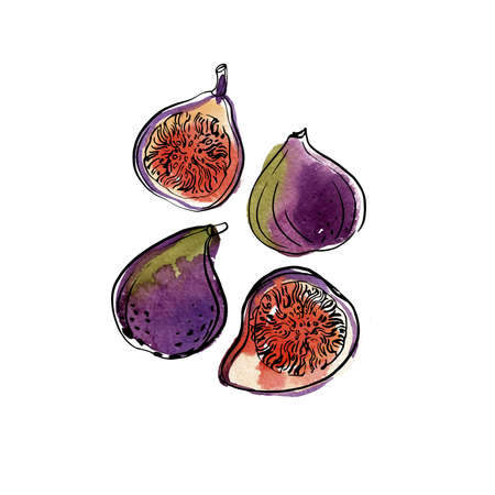 Fig. Fruit. Ink sketch of food by line on white background.