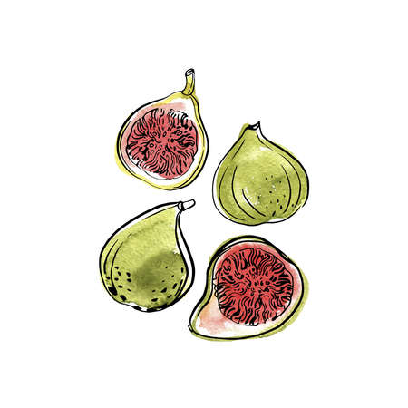 White fig. Fruit. Ink sketch of food by line on white background.