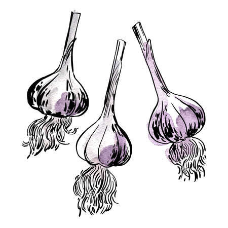 Garlic spices Vegetables. Ink sketch of food by line on white background. 矢量图像