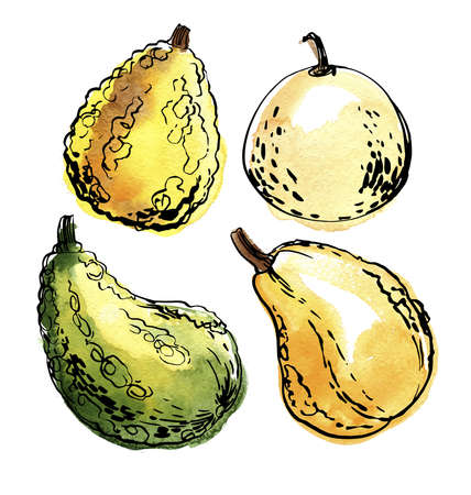 Pumpkins Vegetables. Ink sketch of food by line on white background. 矢量图像