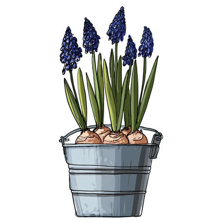Muscari. Flowers in a pot. Sketch of houseplant line on a white background.