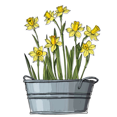 Narcissus. Spring flowers in a pot. Sketch of houseplant line on a white background.