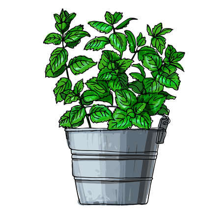 Mint. Spicy Italian herbs in a pot. Color sketch of houseplant line on a white background.