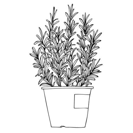 Rosemary. Spicy Italian herbs in a pot. Sketch of houseplant line on a white background.