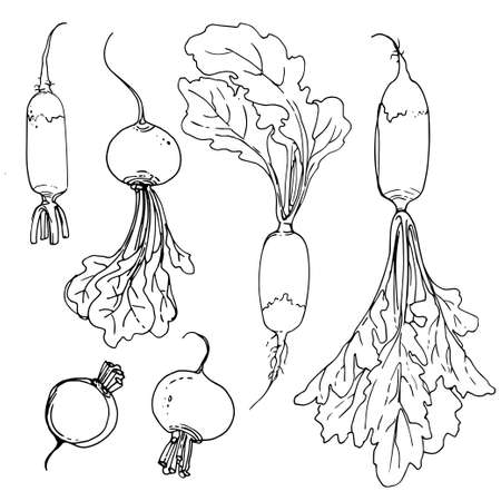 Breakfast radish. Radish painted with a line on a white background. A sketch of food. Vector drawing of spices