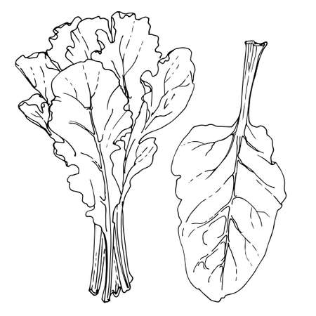 Swiss Chard. The greens drawn by a line on a white background. A sketch of food. Vector drawing of spices Ilustração Vetorial