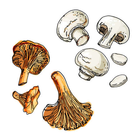 Edible mushrooms. Champignons and chanterelles. A sketch of food drawn by a black line. Colorful drawing of food.