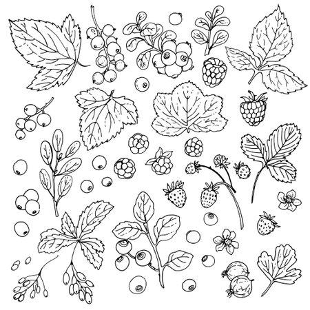 Berries and leaves. Wild berries painted line on a white background. Cranberry, cranberries, currants, raspberries, strawberries, blueberries Food illustrations Vektorgrafik
