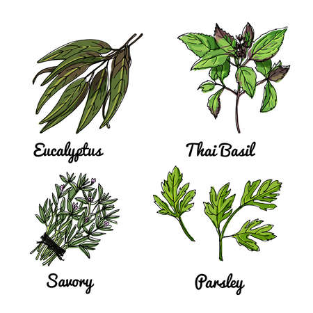 Vector food icons of herbs and spices. Colored sketch of food products. Eucalyptus, Thai basil, savory