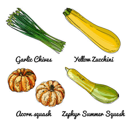 Vector food icons of vegetables. Colored sketch of food products. Garlic chives, yellow zucchini, acorn squash, zephyr summer Vetores