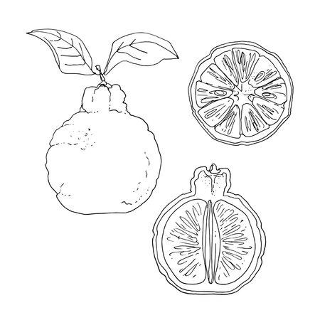 Ponkan Vector drawing of food. Citrus.