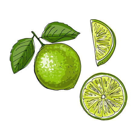 Lime. Vector drawing of food. Citrus Color