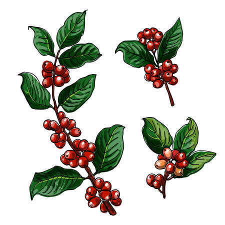 Branch of coffee, berries. Vector food icons. Colored sketch of food products. Color