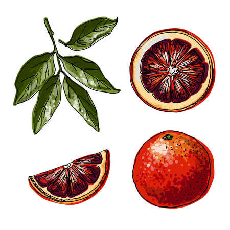Red orange. Citrus. Vector food icons of fruits. Colored sketch of food products.