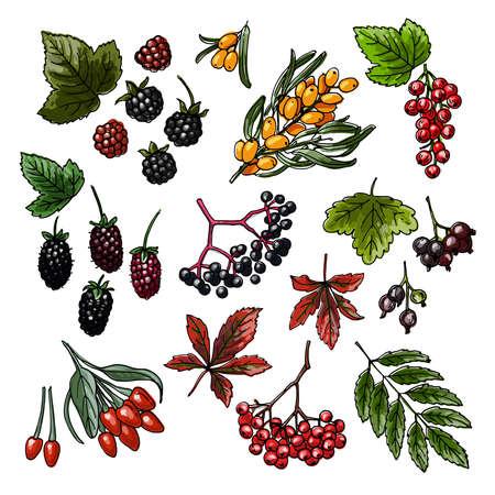 Berries sketch vector food. Blackberry, Currant, sea buckthorn, maiden grapes, mountain ash goji boysenberry 向量圖像