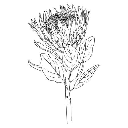 Protea Vector sketch of flowers by line on a white background.