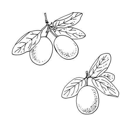 Fruit ximenia. Vector food sketch.