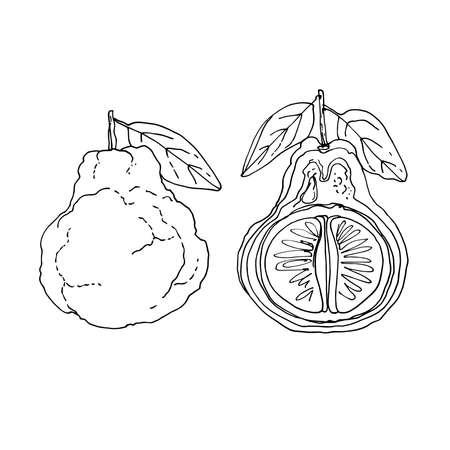 Ugli fruit Vector drawing of food.