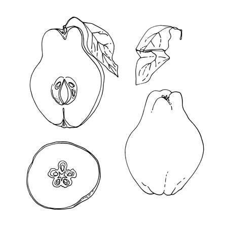 Quince fruit Vector drawing of food. 矢量图像