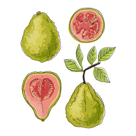 Psidium, Guava fruit Vector food icons of fruits. Colored sketch of food products. 矢量图像