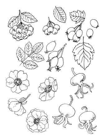 Rosehip, Hawthorn. Vector food icons of berries. Colored sketch of food products.
