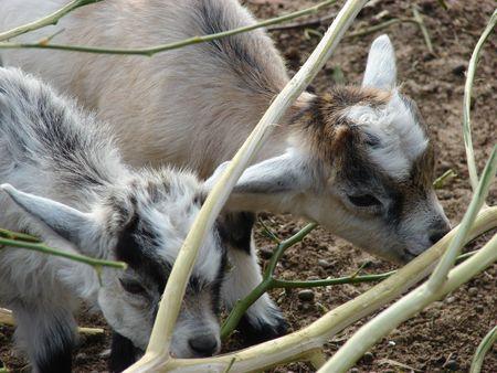 Eating Baby Buck