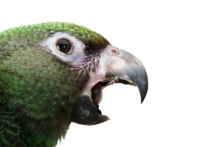 6 month old Jardine parrot on a white background, yawning Stock Photo