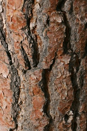 Rich color bark of a pine tree