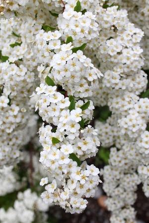 Small bunches of white yarrow flowers, achillea millefolium photo