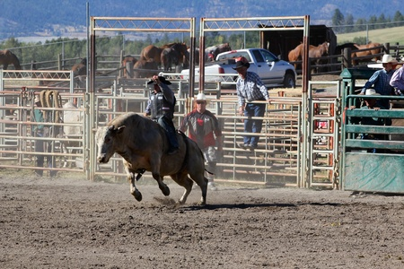 MERRITT, B.C. CANADA - SEPTEMBER 3: Cowboy during bull riding event at The 52nd Annual Pro Rodeo September 3, 2011 in Merritt British Columbia, Canada