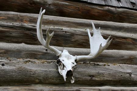 elk point: Elk antlers mounted against a log cabin outside wall