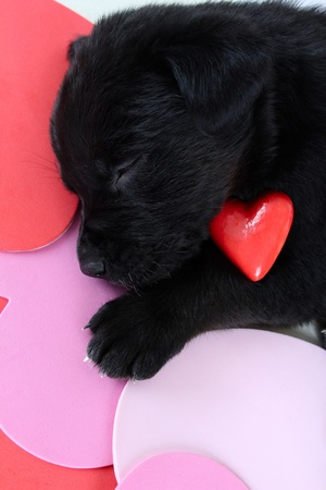 Cute black puppy with red ceramic heart photo