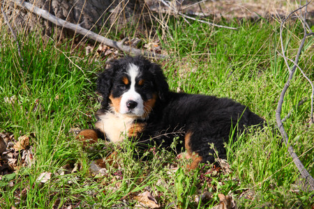 Purebred Bernese Mountain Dog in a spring field photo
