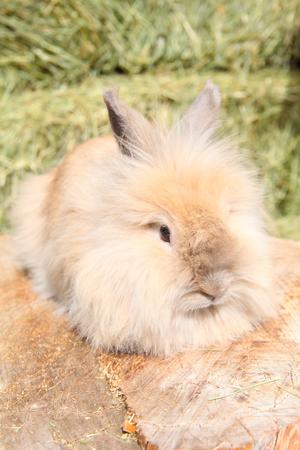 lionhead: Lionhead rabbit sitting on a log against hay background