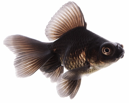 Black  Goldfish on White Without Shade Stock Photo - 14675223